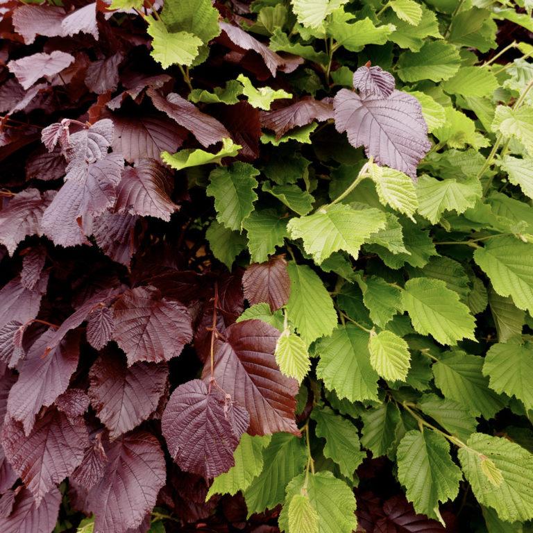plantidee - haagplanten
