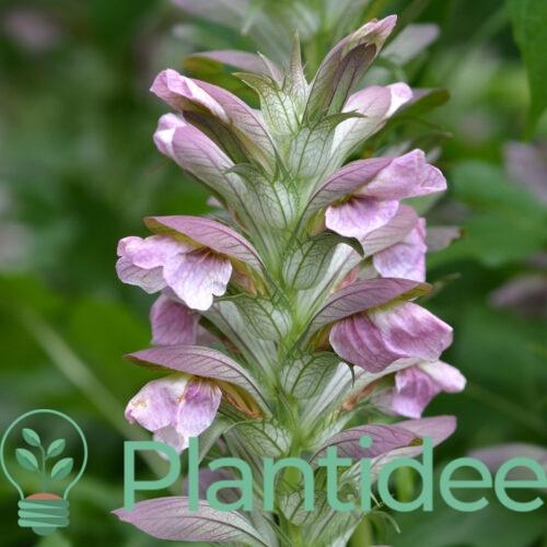 Plantidee - planten - Acanthus hungaricus