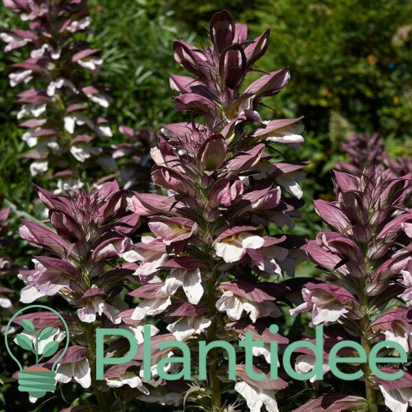 Plantidee - planten - Acanthus mollis