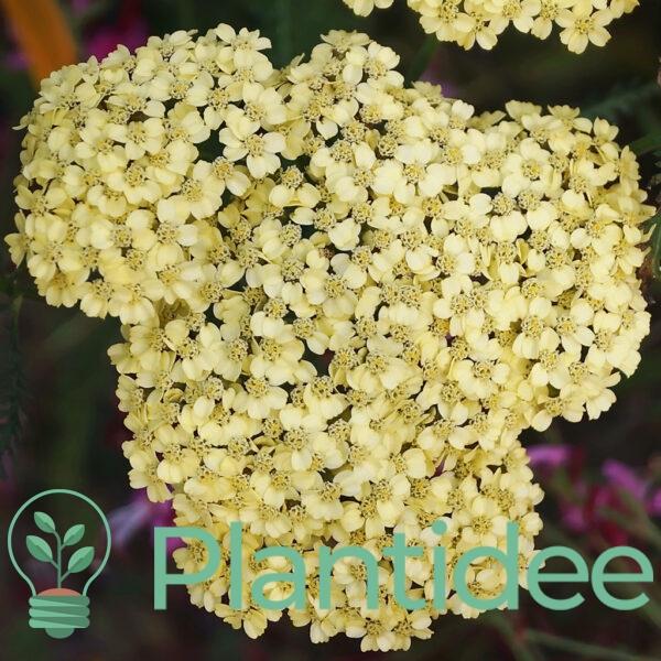 Plantidee - planten - Achillea alabaster