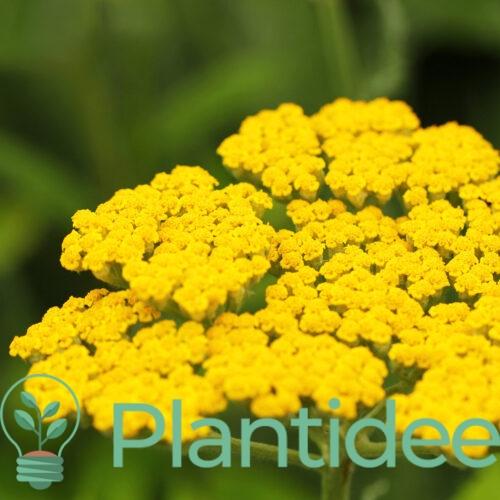 Plantidee - planten - Achillea moonshine