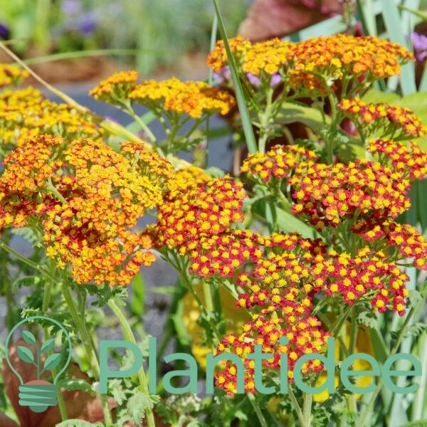 Plantidee - planten - Achillea terracotta