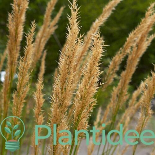 Plantidee - planten - Achnatherum calamagrostis