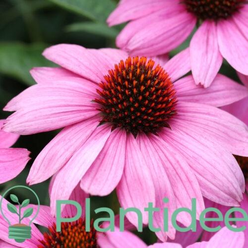 Plantidee - planten - Echinacea powpow Wild Berry