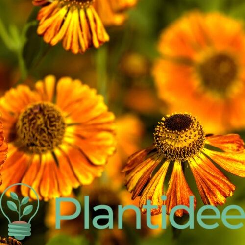 Plantidee - planten - Helenium bigelovii tip top