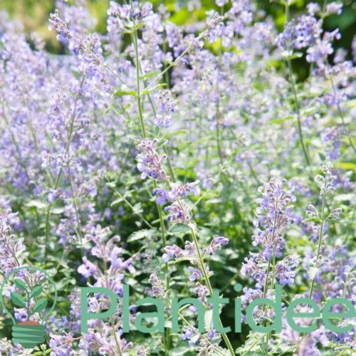 Plantidee - planten - Nepeta subsessilis blue dreams