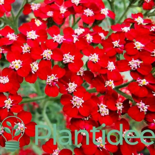 Plantidee - planten - Achillea mill Cassis