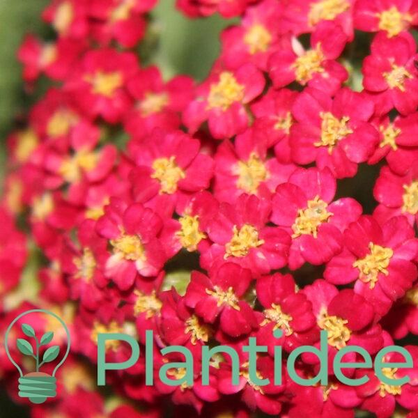 Plantidee - planten - Achillea mill. Paprika