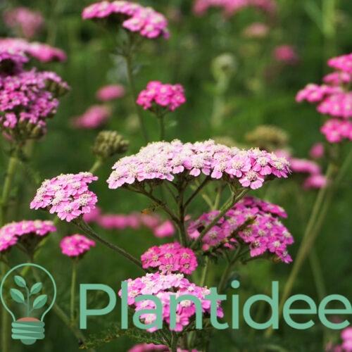 Plantidee - planten - Achillea mill. Pretty belinda