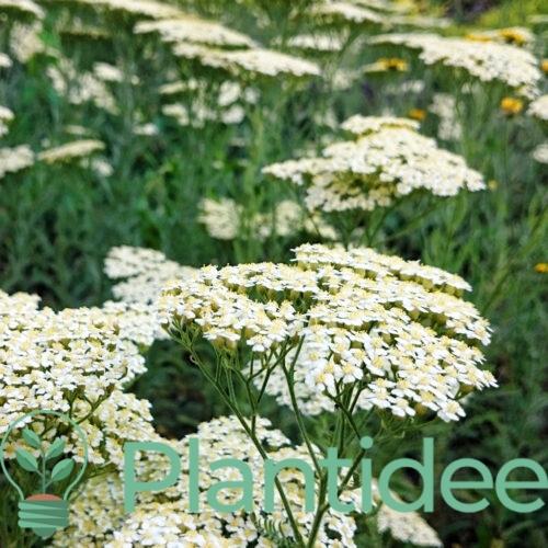 Plantidee - planten - Achillea millefolium