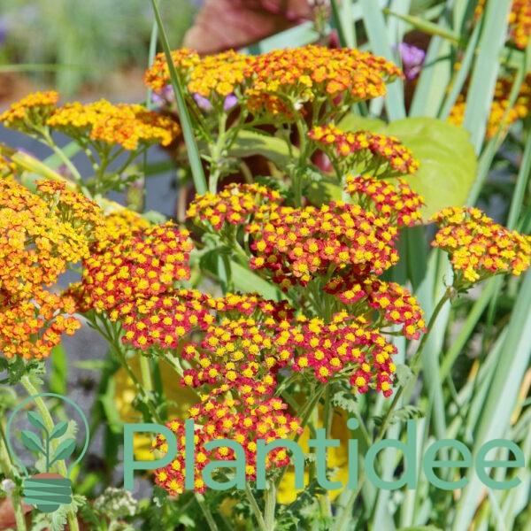 Plantidee - planten - Achillea walther funcke