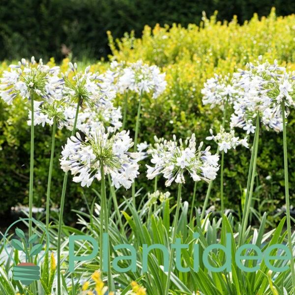 Plantidee - planten - Agapanthus africanus albus