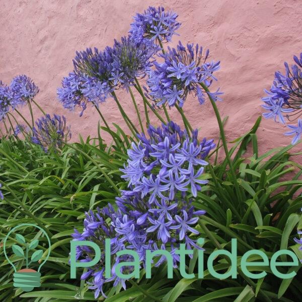 Plantidee - planten - Agapanthus donau