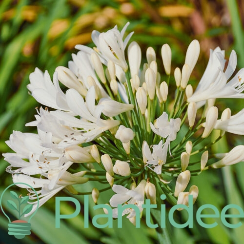 Plantidee - planten - Agapanthus praecox getty white