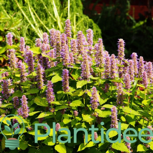 Plantidee - planten - Agastache rugosa golden jubilee