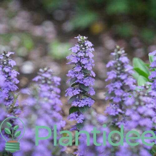 Plantidee - planten - Ajuga reptans atropurpurea