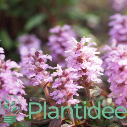 Plantidee - planten - Ajuga reptans rosea