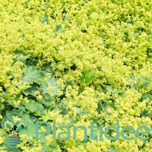 Plantidee - planten - Alchemilla erythropoda
