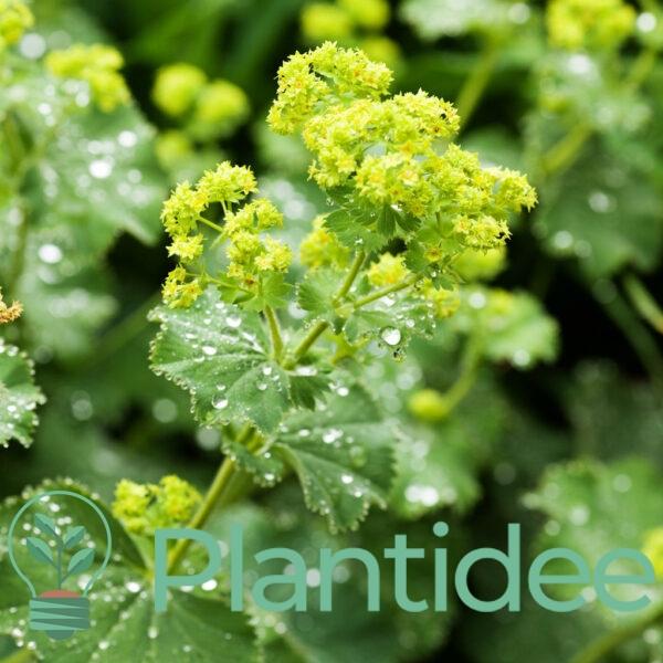 Plantidee - planten - Alchemilla mollis