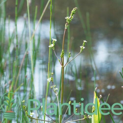 Plantidee - planten - Alisma plantago aquatica