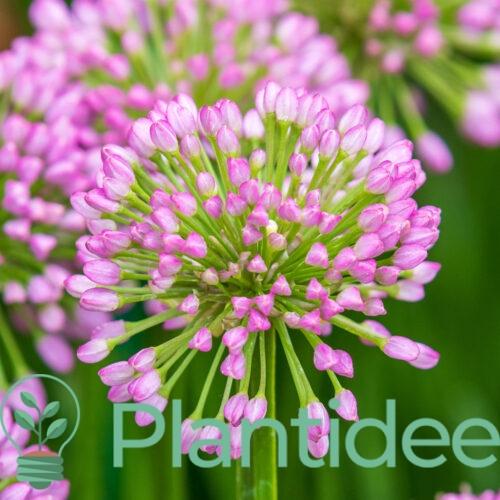 Plantidee - planten - Allium millennium
