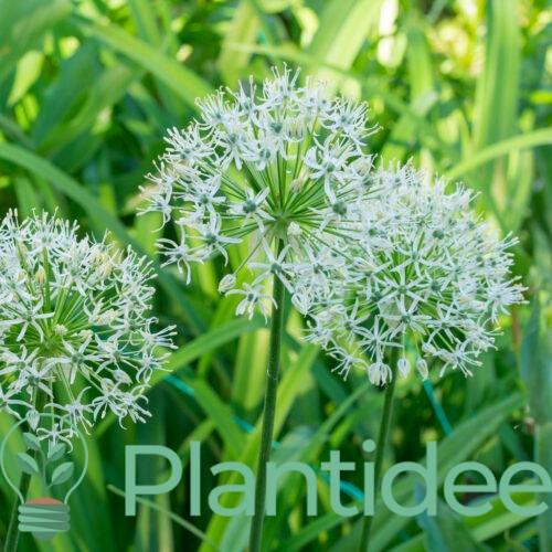 Plantidee - planten - Allium mount everest