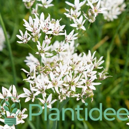 Plantidee - planten - Allium ramosum
