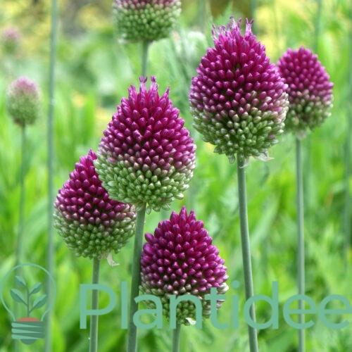 Plantidee - planten - Allium sphaerocephalon