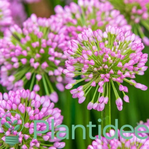 Plantidee - planten - Allium summer beauty