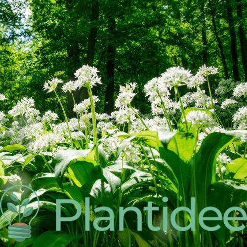 Plantidee - planten - Allium ursinum