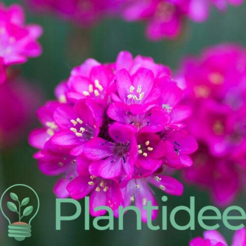 Plantidee - planten - Armeria maritima splendens