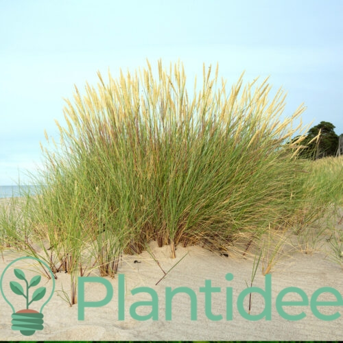 Plantidee - planten - Ammophila arenaria