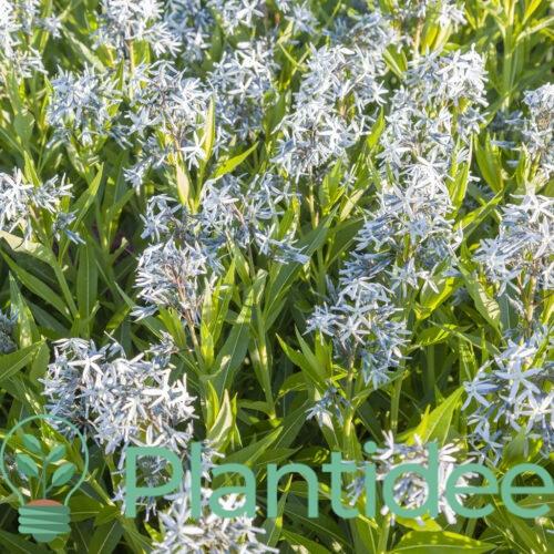 Plantidee - planten - Amsonia orientalis