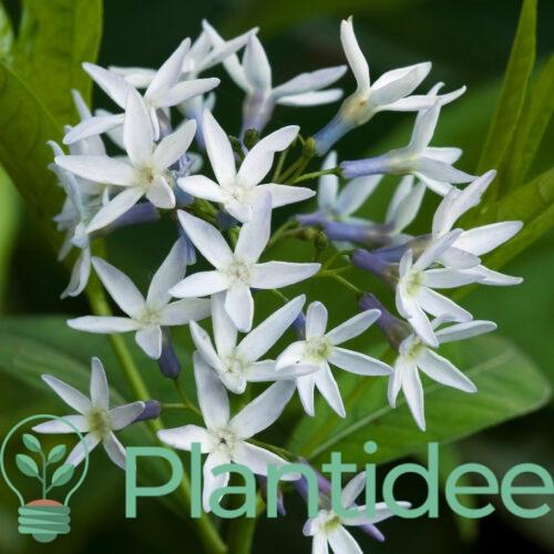 Plantidee - planten - Amsonia tabernaemontana