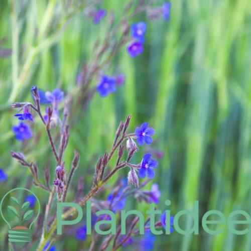 Plantidee - planten - Anchusa azurea dropmore