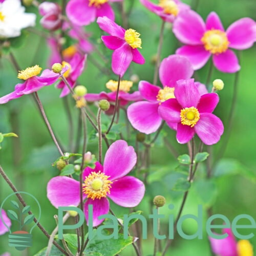 Plantidee - planten - Anemone hupehensis splendens