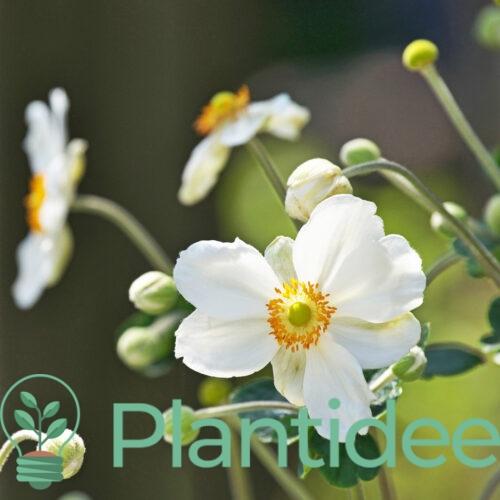 Plantidee - planten - Anemone hybrida coupe d argent