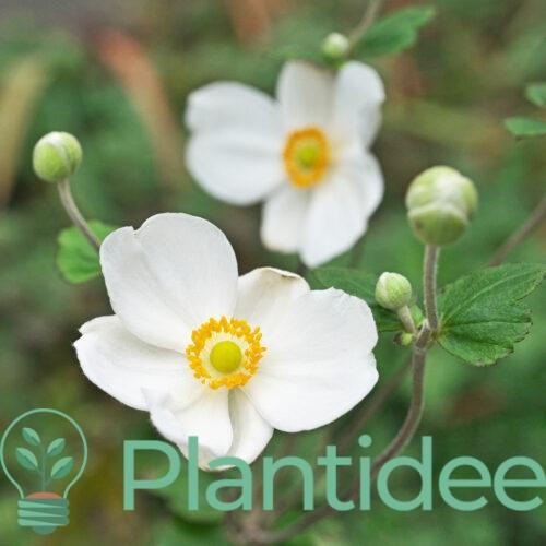 Plantidee - planten - Anemone hybrida honorine jobert