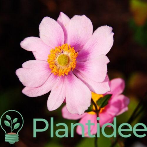 Plantidee - planten - Anemone hybrida konigin charlotte