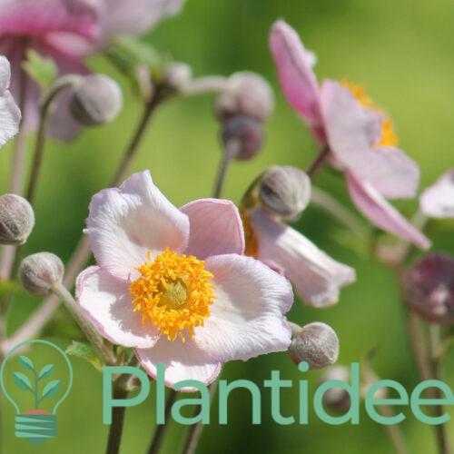 Plantidee - planten - Anemone hybrida loreley
