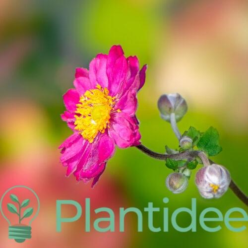 Plantidee - planten - Anemone hybrida pamina
