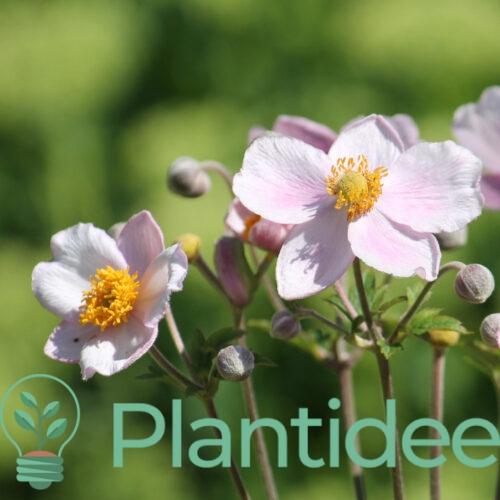 Plantidee - planten - Anemone hybrida richard ahrens