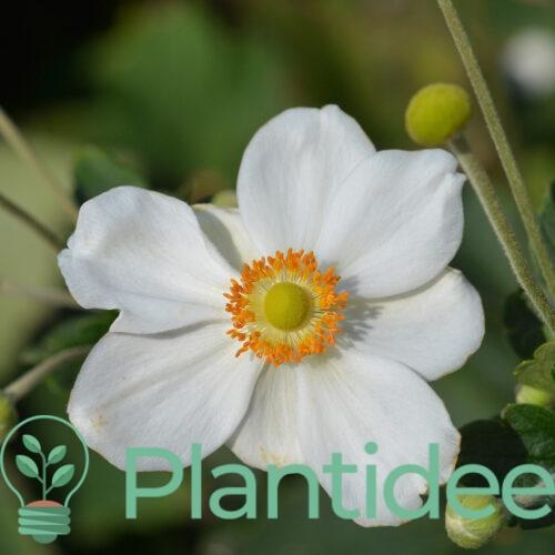 Plantidee - planten - Anemone hybrida whirlwind