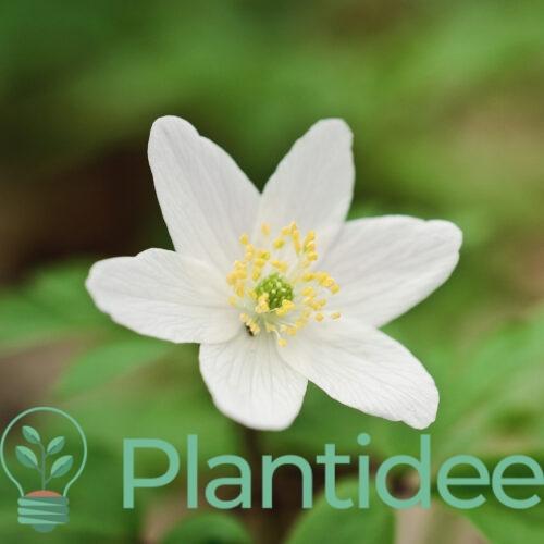 Plantidee - planten - Anemone nemorosa