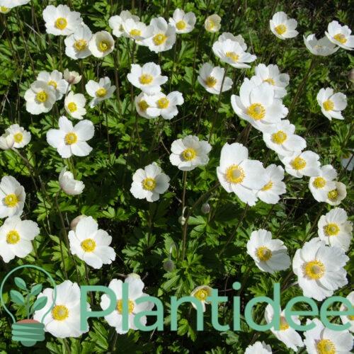 Plantidee - planten - Anemone sylvestris