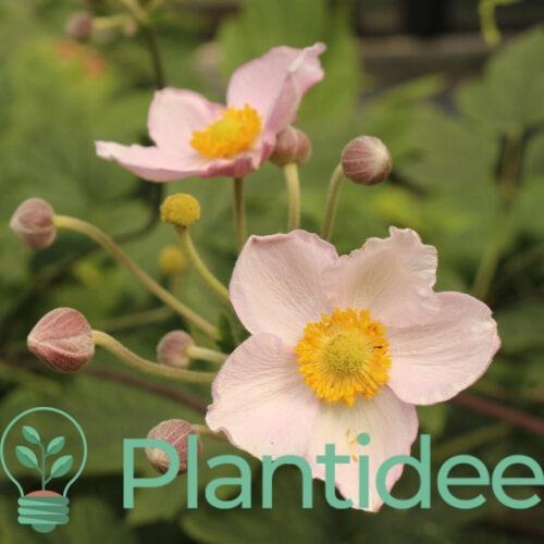 Plantidee - planten - Anemone tomentosa robustissima