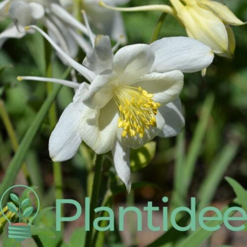 Plantidee - planten - Aquilegia caerulea kristall