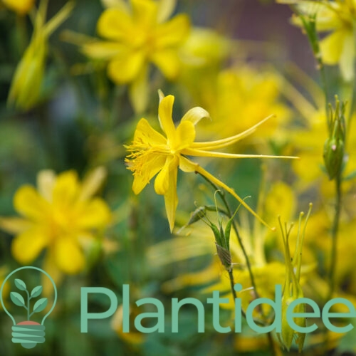 Plantidee - planten - Aquilegia chrysantha yellow queen