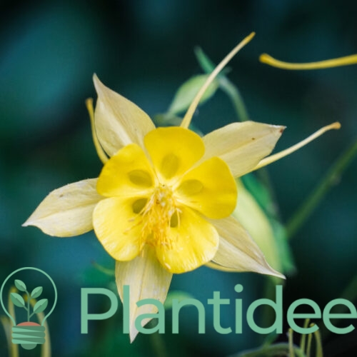 Plantidee - planten - Aquilegia maxistar