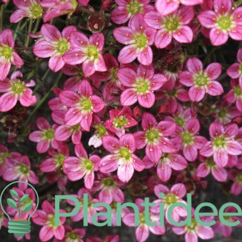 Plantidee - planten - Arabis arendsii la fra cheur